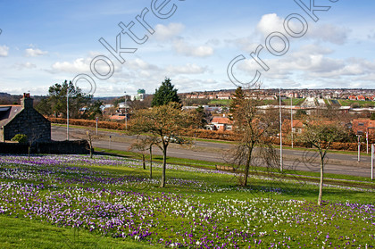 Aberdeen Spring Crocuses jkl8471jhp 